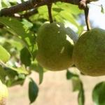 pears-on-tree