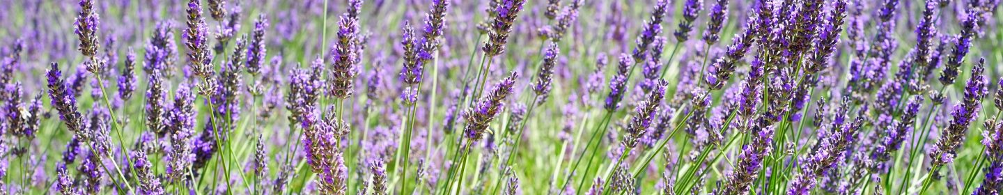 lavender farm vacation