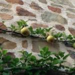 espalier-pear